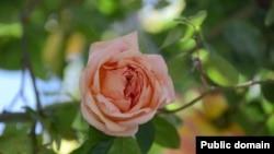 Троянда «Графиня Воронцова»