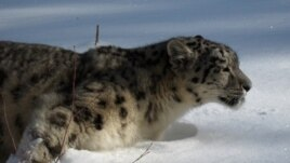 A snow leopards in the mountains of Central Asia