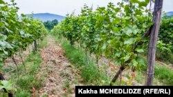 Виноградники в Кварели, Кахетия