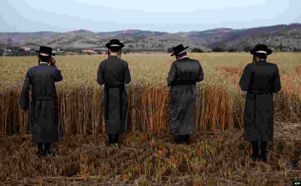 Ultra-Orthodox Jews hold a prayer after they harvest wheat in a field near the Mevo Horon settlement in the West Bank. (AFP/Menahem Kahana)