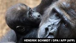 Самка западной равнинной гориллы с детенышем в зоопарке немецкого Лейпцига