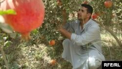 مزارع في بستان بديالى