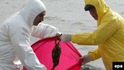 Работники санитарной службы собирают погибших птиц