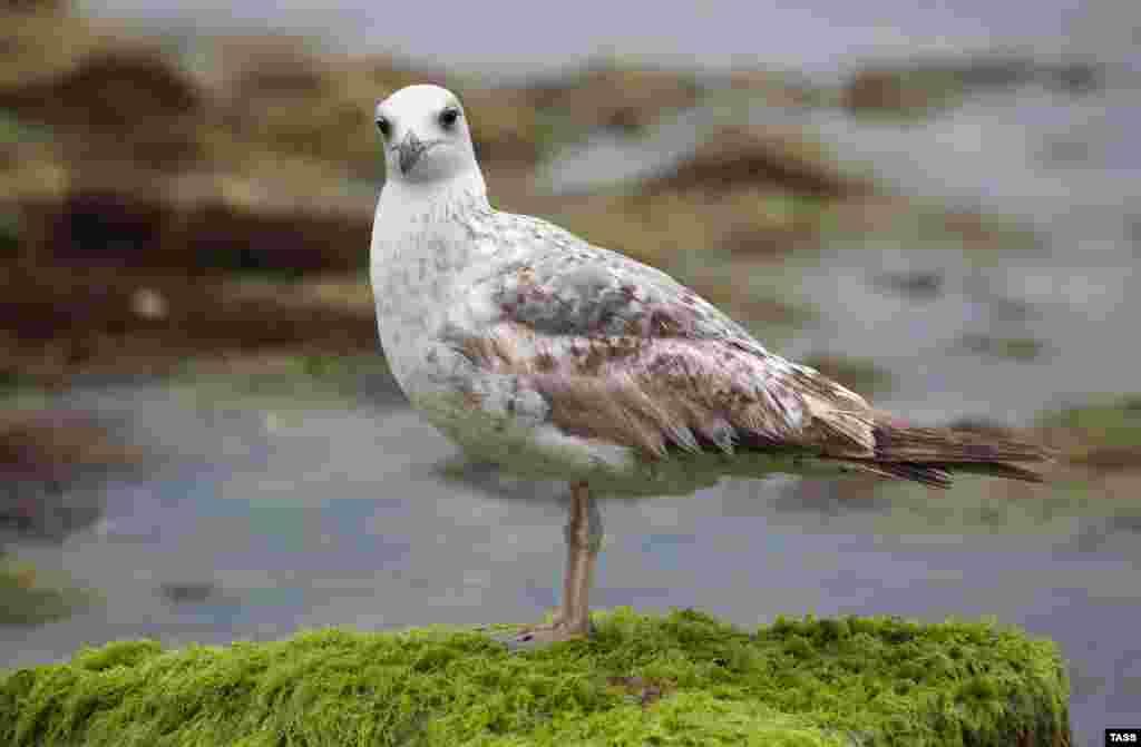 З острівця, покритого мохом, за фотографом спостерігає чайка. Крим.Реалії вирішили показати життя птахів на березі Каламітської затоки в Євпаторії. Більше фото – тут