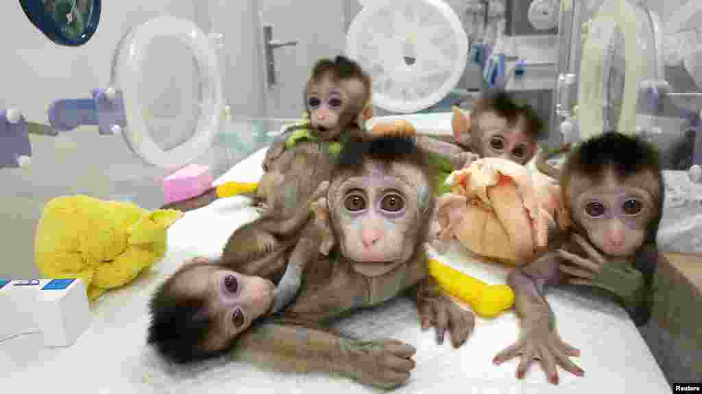 Monkeys cloned from a gene-edited macaque with circadian-rhythm disorders are seen at the Chinese Academy of Sciences in Shanghai. (Reuters/Chinese Academy of Sciences)