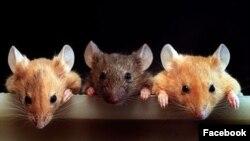 Завдяки відносно новій технології редагування генів вченим вдалося відредагувати ген, який стає причиною смертельної печінкової нестачі у мишей, іще до їхнього народження