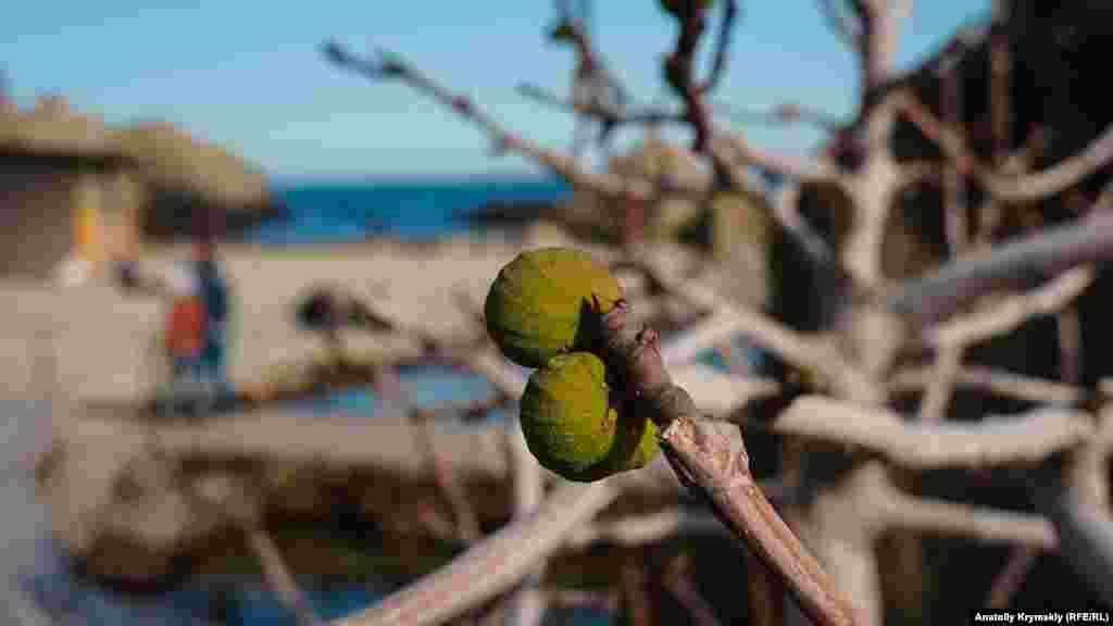 Інжир росте і плодоносить біля самого моря