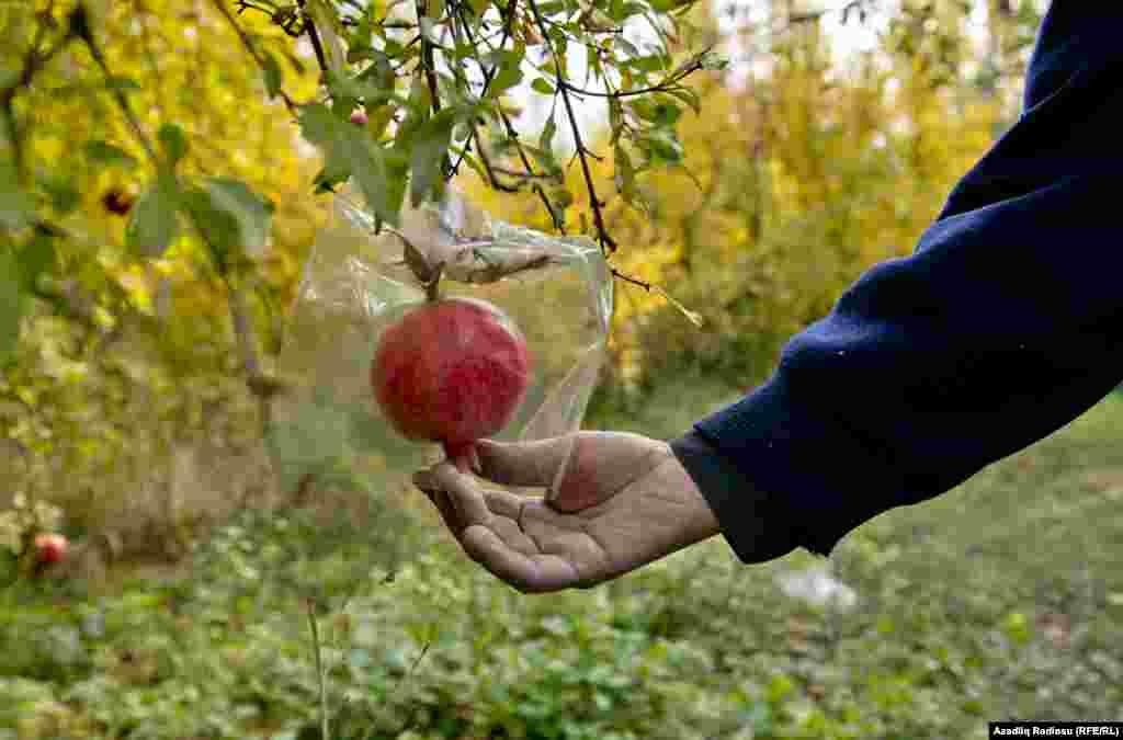 Чтобы подороже продать гранаты, Ильгар ждет наступления холодов: именно тогда плоды полностью созреют и достигнут наилучшего вкуса. Чтобы морозы не повредили гранаты, каждый плод садовод оборачивает в целлофан.