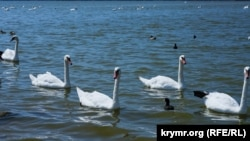 Білі лебеді на кримському узбіччі (фотогалерея)
