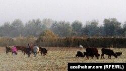 Türkmenistanyň ekin meýdanlarynyň birindäki sygyrlar. Arhiwden alnan surat