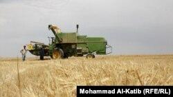 حصاد الحنطة في نينوى
