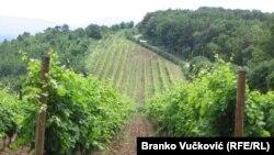 Vinograd u Topoli