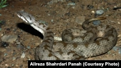 Iran -- Snakes in Wildlife Iran