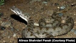 Iran -- Snakes in Wildlife Iran
