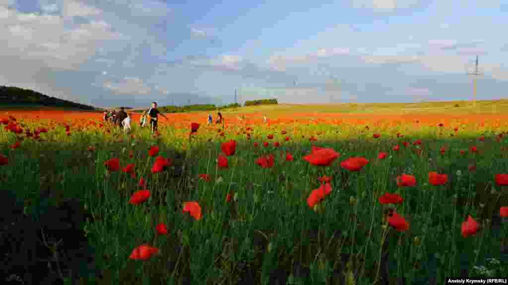 Дикий мак – сорняк, и отношение к нему– например, у фермеров – соответствующее. Но всем остальным его цветение только в радость