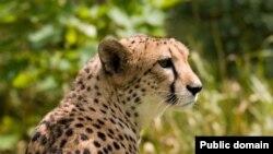 يوزپلنگ آسيايی که شبيه همتای آفريقايی اش است به ماشين سرعت معروف است و برای شکار طعمه خود می تواند به سرعت بيش از ۱۰۰ کيلومتر در ساعت دست يابد.