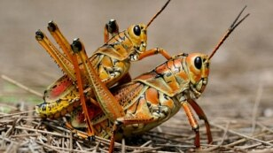 Eastern Lubber Grasshopper.For Pomerantsev prgm