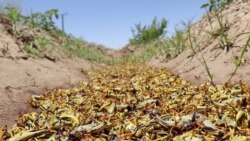 Locust Swarms Devour Swaths Of Pakistan's Crops