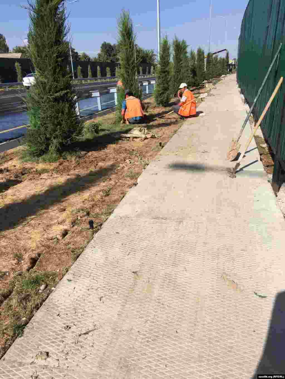 Вдоль дороги в Байтурткане рабочие высаживают можжевельник.