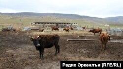 dagestan - farm