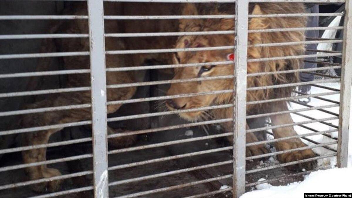 «Они ненавидели людей: спасенные хищники с Покровска теперь в Запорожье