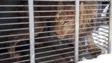 Лев из Покровского частного зоопарка Игоря Падалко