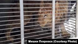 Лев у Покровском частном зоопарке Игоря Падалко (архивное фото)