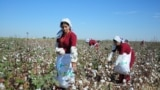 Turkmenistan. Mary province cotton growers fulfills contractual obligations. Photo taken from official media.
