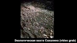 Побережье Сахалина, усеянное мертвой сельдью и корюшкой
