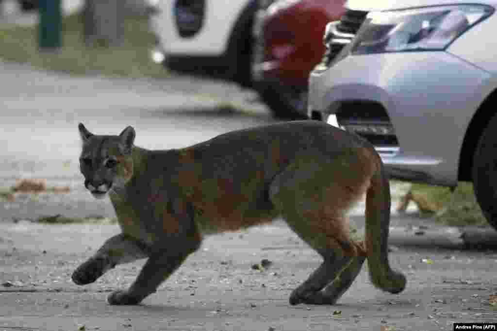 A puma runs across a footpath in the center of Santiago, Chile, on March 24. The young female was later captured and released into the wild.