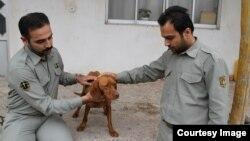 سگ شکاری آزار دیده در میان حمایت ماموران محیط بانی
