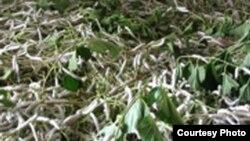 Шелковичные черви поедают заготовленные ветви тутового кустарника.