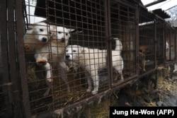 Традиция употребления в пищу собачьего мяса в Южной Корее уходит в прошлое по мере того, как собаки начинают восприниматься скорее как домашние любимцы, а не как скот