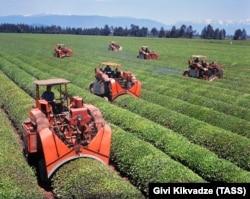 Soviet tea harvesters in the western Georgian village of Khutsubani in 1970.