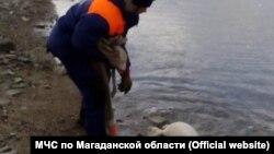 Нерпёнок в бухте Магаданской области