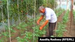 «Buruc pomidoru» yaxşı ad çıxarıb