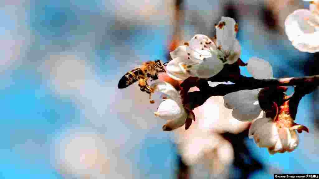 Весна пришла и в крымскую столицу. Здесь вБотаническом саду«Крымского федерального университета» (Таврического национального университета) зацвел абрикос