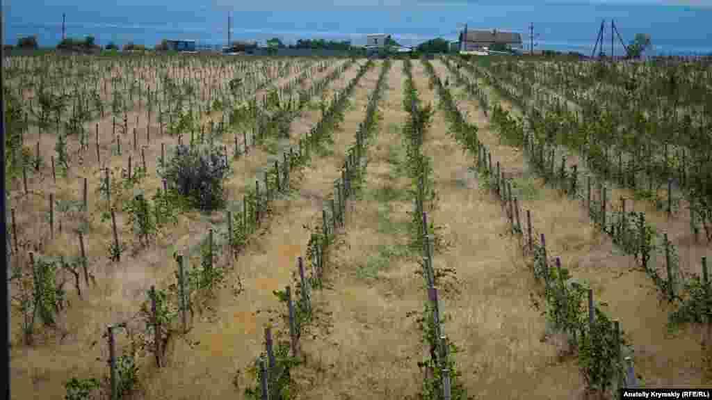 А этот молодой виноградник на противоположной стороне от трассы, у моря, явно нуждается в уходе