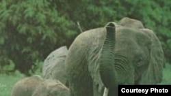 Африканский слон (Loxodonta africana) – самое крупное из современных хоботных животных.