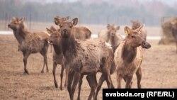 Belarus - Siberian deer farm, Hrodna region, 30mar2018