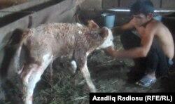 Мальчик дает молоко теленку в хозяйстве азербайджанского фермера. 14 ноября 2012 года.