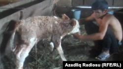 A boy tends to one of the imported cows' calves in Azerbaijan.