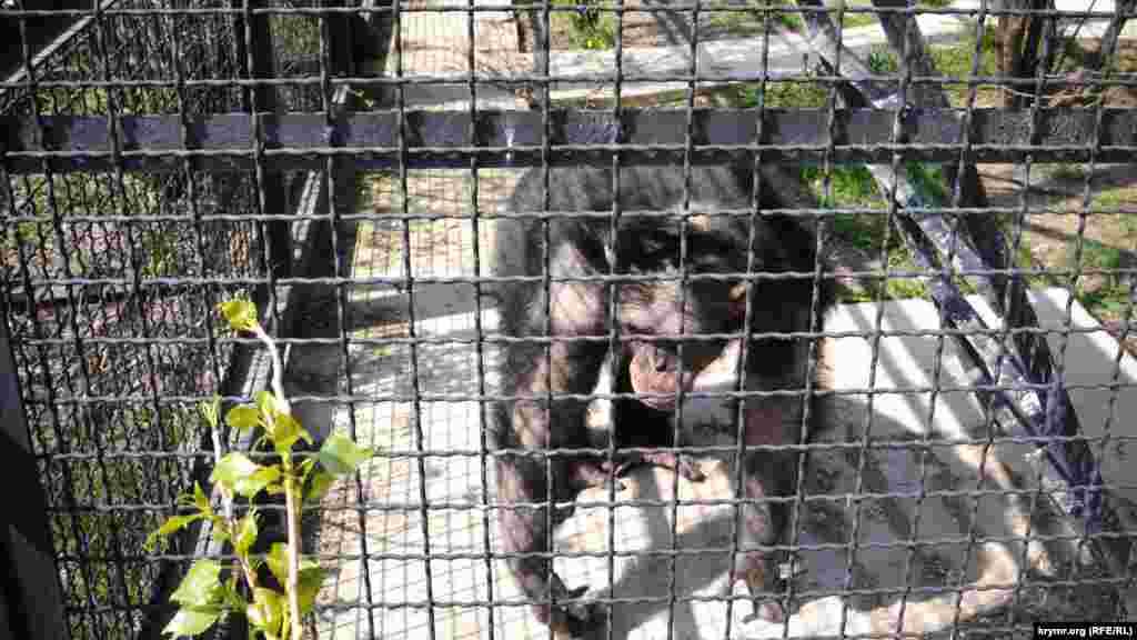 «Taygan» arslanlar parkına dört şimpanze ketirip, mahsus volyerge yiberdiler; anda olarnı parknıñ ziyaretçileri köre bilecekler