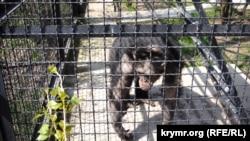 Шимпанзе в парке львов «Тайган», 14 апреля 2018 года