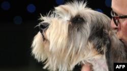 Jilly, un Basset Griffon Vendeen, cîștigător în 2013 la Crufts Dog Show la Birmingham