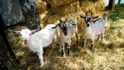 Козы вместо коров? Животноводство в Крыму | Радио Крым.Реалии
