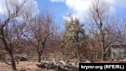 Фруктовые деревья на присусадебном участке, оставшиеся без листвы после токсичных выбросов в Армянске. 13 сентября 2018 года