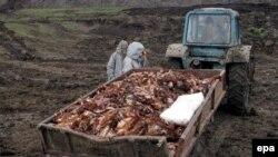 Пока решается вопрос о вакцинации, в российских регионах гибнут и уничтожаются сотни тысяч птиц