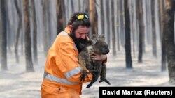 Коали – одні з найбільш постраждалих внаслідок пожеж тварин