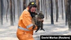 Аделаиданың Көнгерә утравыннан коаланы коткару